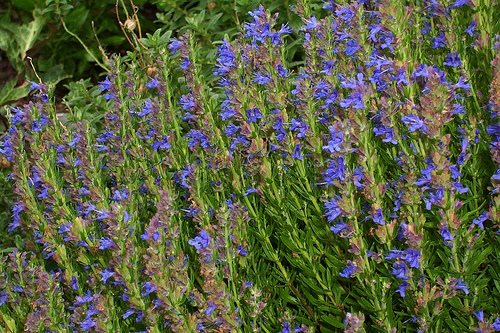 In Our Garden: Hyssop & the Bible